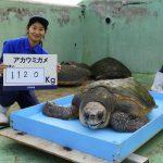 鴨川シーワールド、「海の動物 公開体重測定」を開催
